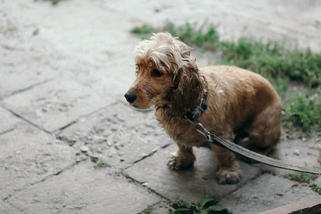 Lärm und vintage-stil. hundecockerspanielweg im park am sommertag.