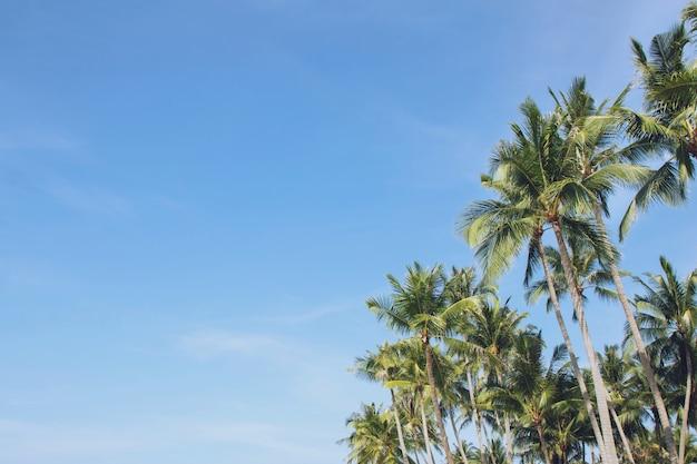 Lässt palmen-kokospalmenfarm gegen blauen himmel, an tropischer küste, sommerbaum, schönen sommerlandschaftshintergrund. perspektive ansicht raum kopie schreiben sie eine nachricht in den himmel.