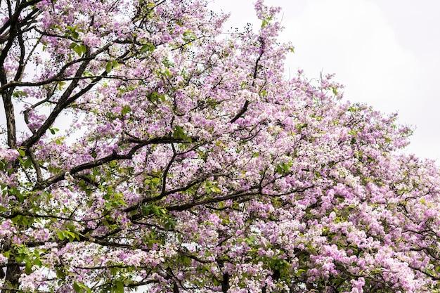 Lagerstroemia eine schöne purpurrote blume