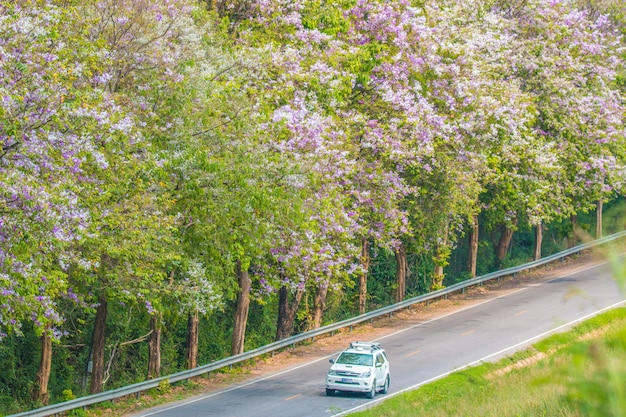 Lagerstroemia floribunda blüht entlang des weges, während auto fährt, um zu reisen