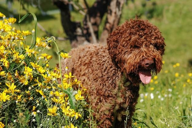 Lagotto romagnolo trüffelhund