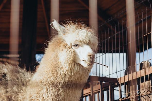 Lama alpaka im zoo an einem sonnigen sommertag.