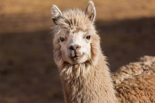 Lama in abgelegener gegend von argentinien