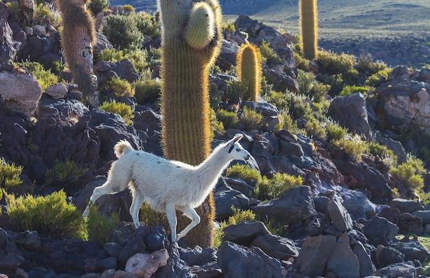Lama in abgelegener gegend von bolivien