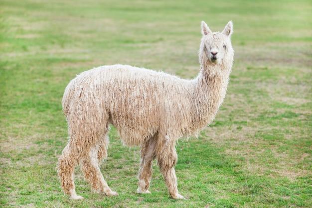 Lama in der natur