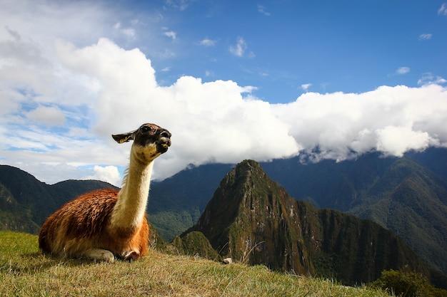 Lama in machupicchu, cusco, peru. reiseziel, trekkingkonzept