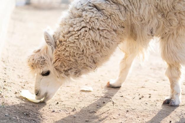 Lama isst kohl vom boden