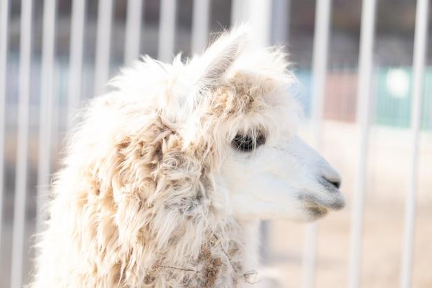 Lama ist im zoo und schaut zur seite.