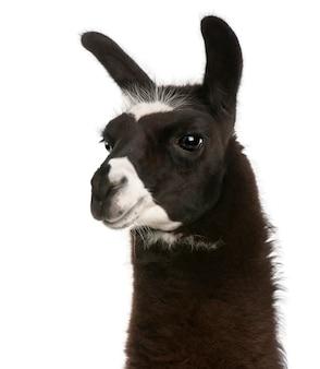 Lama, lama glama, auf einem weißen isoliert