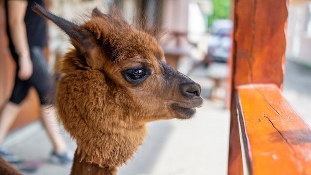 Lama mit braun-orangem fell im zoo