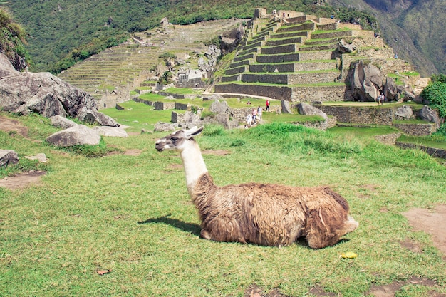 Lama steht bei machu picchu sieben neue wunder dieser welt in peru