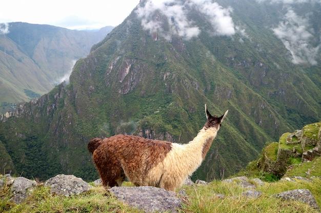 Lama, welches die erstaunlichen ruinen der inkazitadelle von machu picchu, cusco region, peru betrachtet