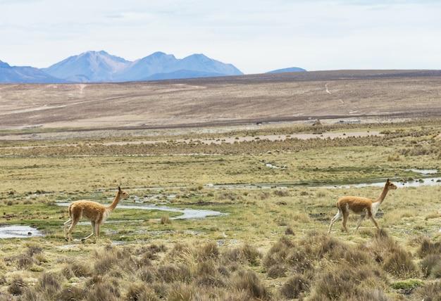 Lamas in anden, berge, peru