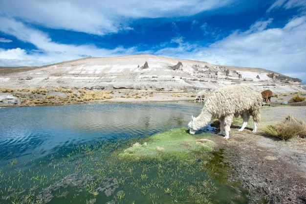 Lamas in den anden, bergen, peru