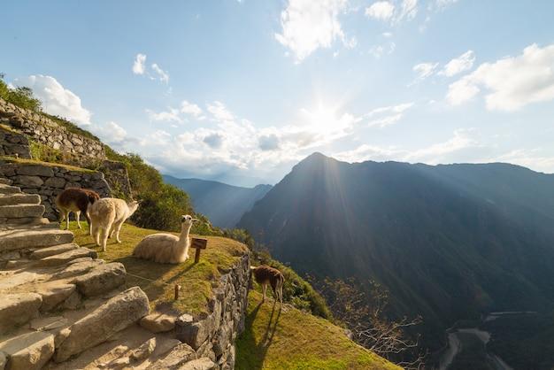 Lamas in der hintergrundbeleuchtung bei machu picchu, peru
