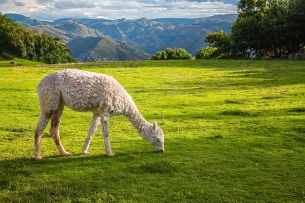 Lamas und alpakas in sacsayhuaman, inkas-ruinen in den peruanischen anden, cusco, peru