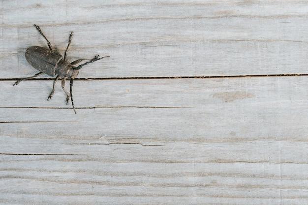 Lamia textor - weberkäfer insekt auf einem holzbrett. draufsicht, platz für text