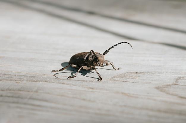 Lamia textor - weberkäfer insekt auf einem holzbrett