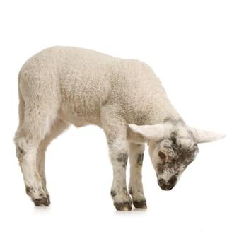 Lamm, das lokalisiert auf einem weißen hintergrund schaut