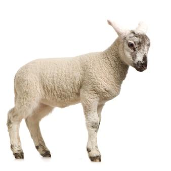Lamm, das lokalisiert auf einem weißen hintergrund steht