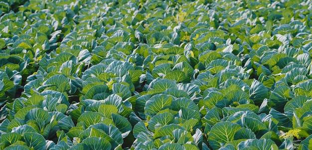 Land der kohlplantage am frühlingstag, bio-ernährung.