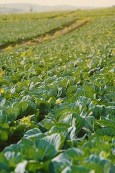 Land der kohlplantage am frühlingstag