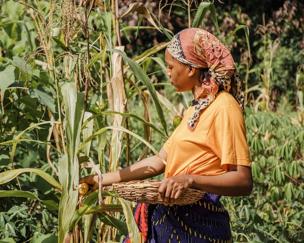 Landarbeiter, der mais aufnimmt