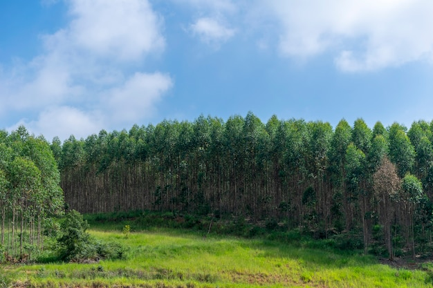 Landschaft der eukalyptusplantage und des blauen himmels und der wolken