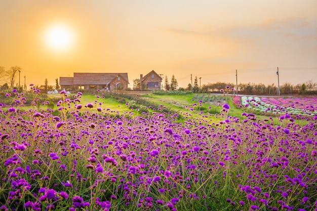 Landschaft des blühenden lavendelblumenfeldes mit schönem haus auf berg