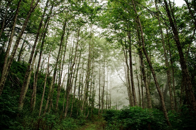 Landschaft des grünen dünnen hohen baumstammwaldes mit dem nebel im weiten