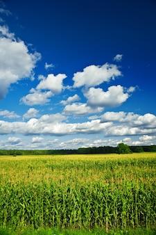 Landschaft des maisfeldes Premium Fotos