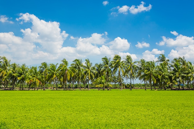Landschaft des reisfeldes auf blauem himmel