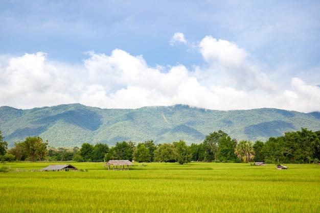 Landschaft des schönen goldenen reisfeldes in asien.