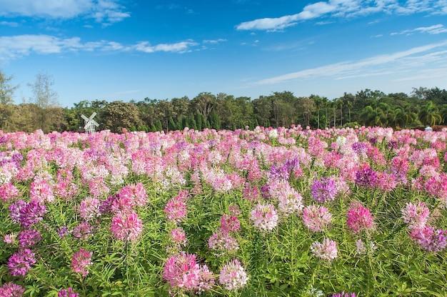 Landschaft des schönen rosa flowrer am feld mit blauem himmel