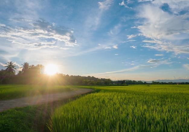Landschaft grünes reisfeld regenzeit und sonnenuntergang schöne naturlandschaft
