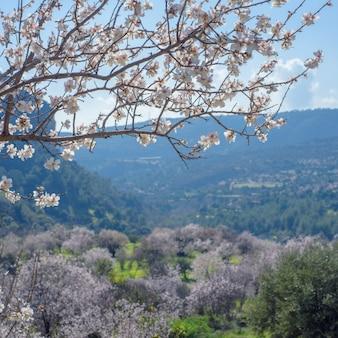 Landschaft mit blühenden mandelbäumen
