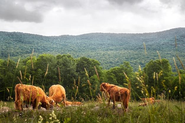 Landschaft mit büffeln auf wiese