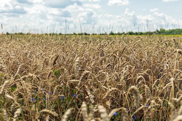 Landschaft mit dem weizenfeld im frühjahr