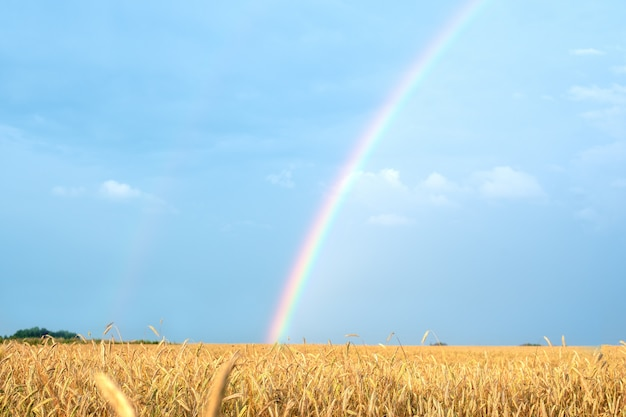 Landschaft mit einem regenbogen nach dem regen und dem weizenfeld mit goldenen ohren