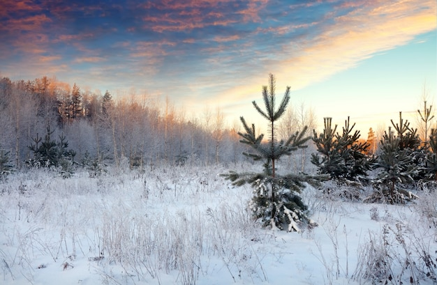 Landschaft mit kiefern auf verschneiten wiese