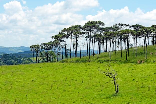 Landschaft mit kiefernart araucaria