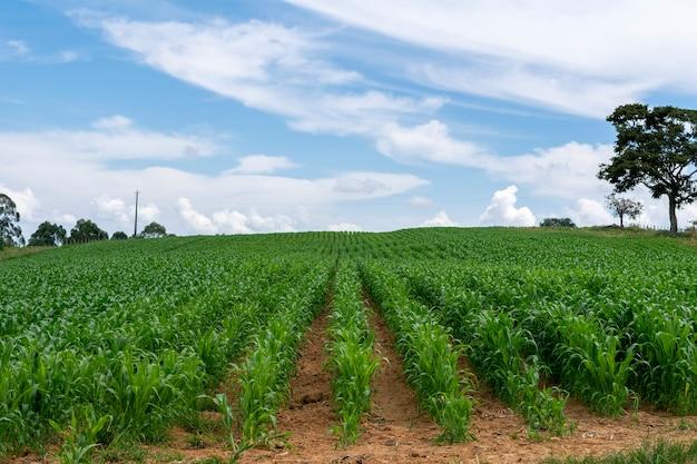 Landschaft mit maisfeld und isoliertem baum