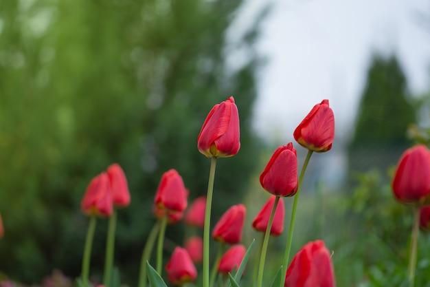 Landschaft mit tulpenfeld. tulpenfeld im frühjahr. rote tulpenblume. lila tulpenblumen im garten