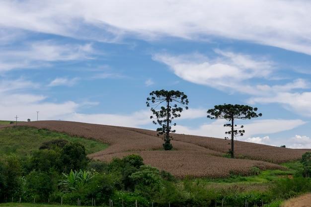 Landschaft mit zwei araukarien mitten in der maisplantage
