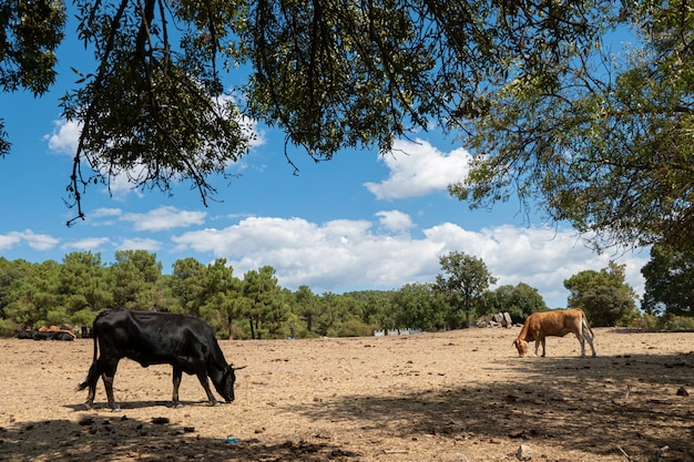 Landschaft mit zwei kühen ruhen