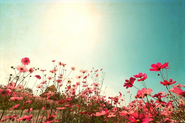 Landschaft vintage natur hintergrund der kosmos blume feld mit sonnenlicht blauen himmel. vintager farbton