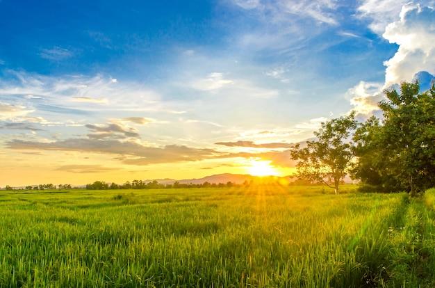 Landschaft von maisfeld und von grünem feld mit sonnenuntergang auf dem bauernhof,