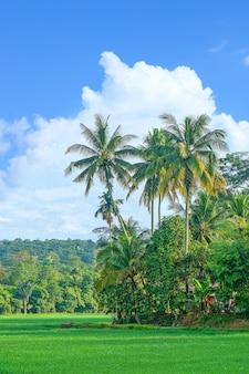 Landschaft von reisfeldern mit kokospalmen