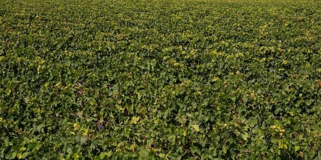 Landschaftsgrüner bordeaux wineyard frankreich