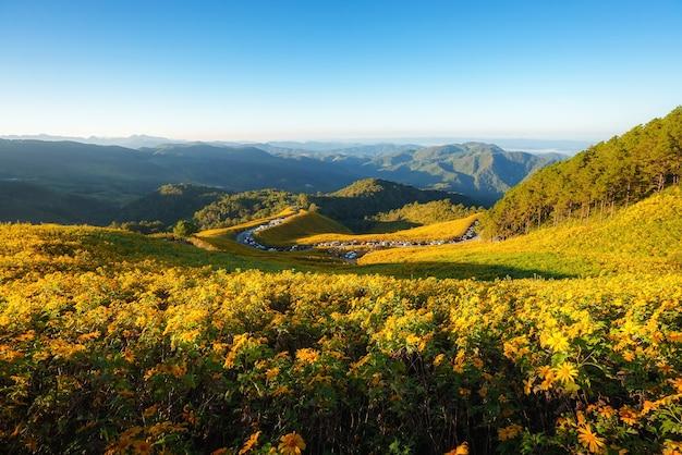 Landschaftsnaturblume tung bua tong mexikanisches sonnenblumenfeld in der wintersaison während des sonnenaufgangs in mae hong son nahe chiang mai, thailand.